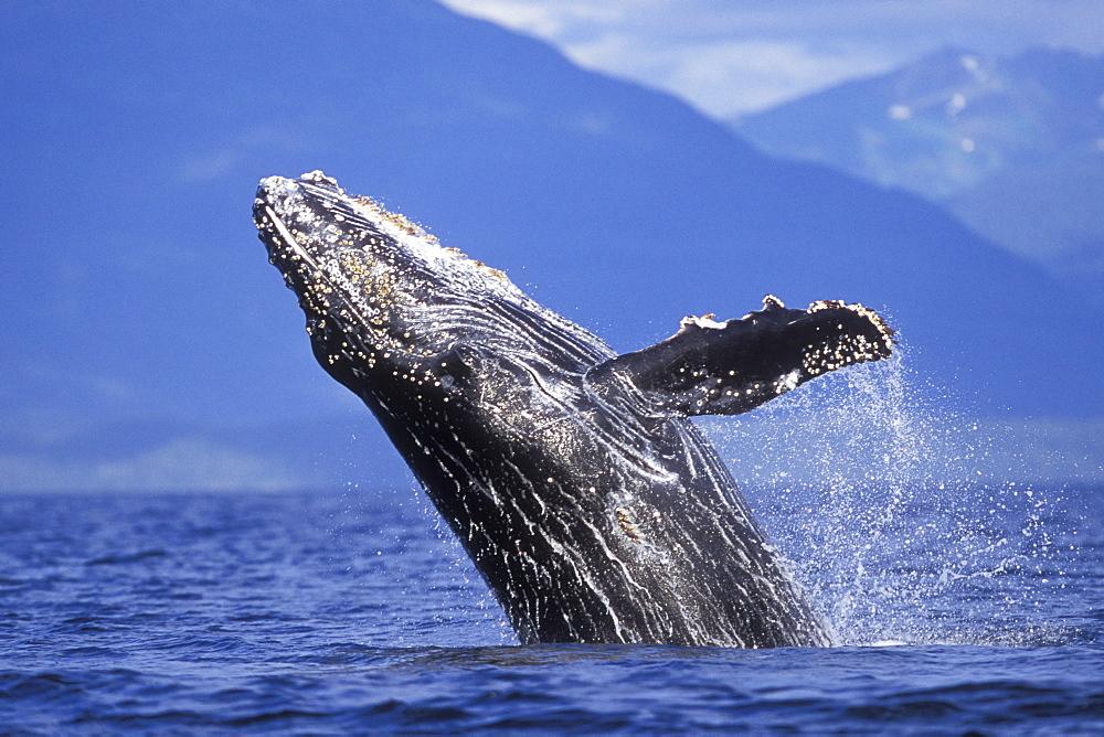 Humpback Whale calf (Megaptera novaeangliae) breaching in Chatham Strait, Southeast Alaska, USA. Pacific Ocean. - 979-545