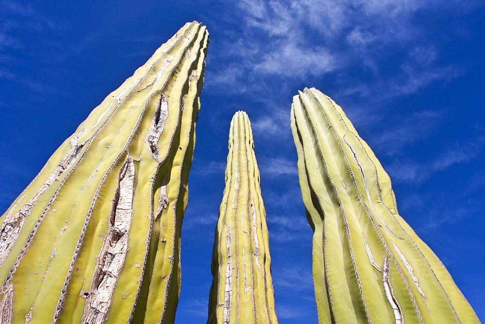Cactus in bloom in the Sonoran Desert of the Baja California Peninsula, Mexico.
