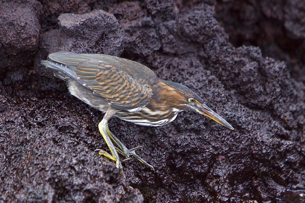 A young striated heron (Butorides striata) fishing along the lava shore in the Galapagos Islands, Ecuador. Pacific Ocean.
