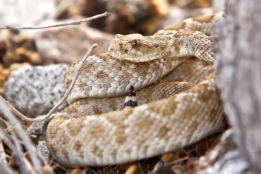 An adult Santa Catalina rattleless rattlesnake (Crotalus calalinensis) on the island of Santa Catalina in the Gulf of California (Sea of Cortez), Baja California Sur, Mexico. MORE INFO: This rattlesnake has evoloved to lose it's characteristic rattle, due to lack of predators living on this island.