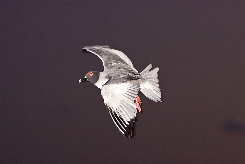 Adult Swallow-tailed gull (Creagrus furcatus) on the wing on Espanola Island in the Galapagos Island Archipeligo, Ecuador. Pacific Ocean. This species of gull is endemic to the Galapagos Islands. It is also a nocturnal feeding gull (note the red ring around the eye).