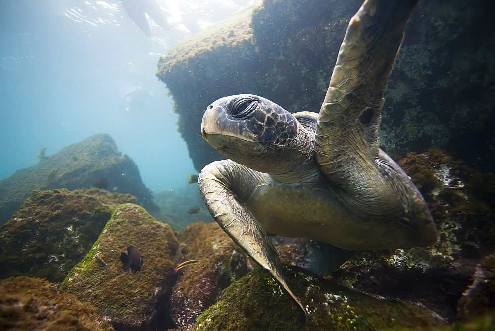 Adult green sea turtle (Chelonia mydas agassizii) underwater off the west side of Isabela Island in the waters surrounding the Galapagos Island Archipeligo, Ecuador. Pacific Ocean. - 979-5581