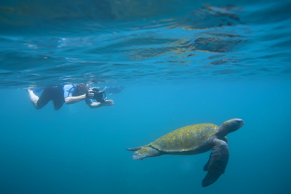Adult green sea turtle (Chelonia mydas agassizii) underwater with snorkeler off the west side of Isabela Island in the waters surrounding the Galapagos Island Archipeligo, Ecuador. Pacific Ocean.