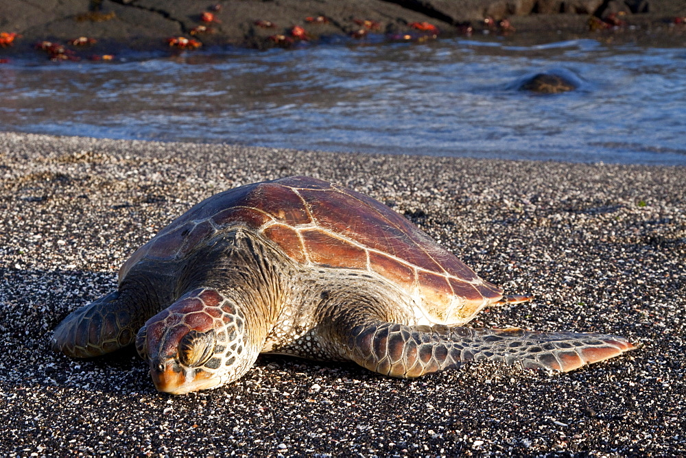 Young green sea turtle (Chelonia mydas agassizii) haued out on the beach in the waters surrounding the Galapagos Island Archipeligo, Ecuador. Pacific Ocean.