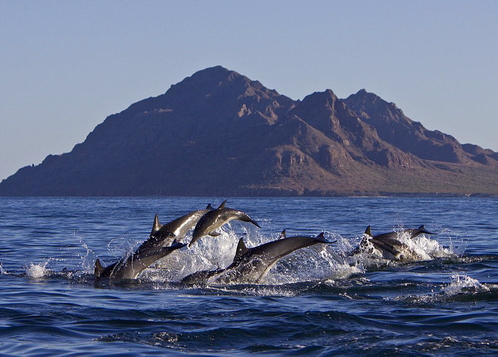 Long-beaked Common Dolphin pod (Delphinus capensis) encountered off Isla Danzante in the southern Gulf of California (Sea of Cortez), Baja California Sur, Mexico.