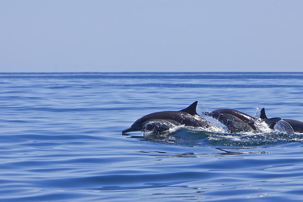 Long-beaked Common Dolphin pod (Delphinus capensis) encountered traveling off Isla Danzante in the southern Gulf of California (Sea of Cortez), Baja California Sur, Mexico.