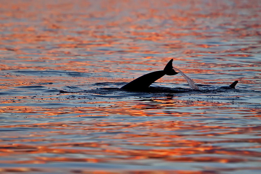 Long-beaked Common Dolphin pod (Delphinus capensis) encountered at sunset off Isla Danzante in the southern Gulf of California (Sea of Cortez), Baja California Sur, Mexico.