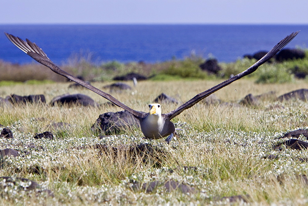 Adult waved albatross (Diomedea irrorata) at breeding colony on Espanola Island in the Galapagos Island Archipeligo, Ecuador. Pacific Ocean. This species of albatross is endemic to the Galapagos Islands. Albatross exhibit a very intricate behavioral activity when courting potential mates.