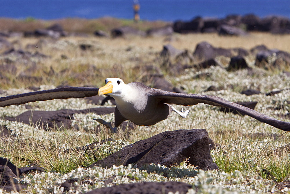 Adult waved albatross (Diomedea irrorata) taking flight at breeding colony on Espanola Island in the Galapagos Island Archipeligo, Ecuador. Pacific Ocean. MORE INFO: This species of albatross is endemic to the Galapagos Islands. Albatross exhibit a very intricate behavioral activity when courting potential mates.