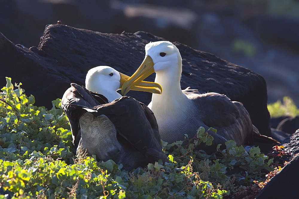 Adult waved albatross (Diomedea irrorata) courtship display at breeding colony on Espanola Island in the Galapagos Island Archipeligo, Ecuador. Pacific Ocean. MORE INFO: This species of albatross is endemic to the Galapagos Islands. Albatross exhibit a very intricate behavioral activity when courting potential mates.