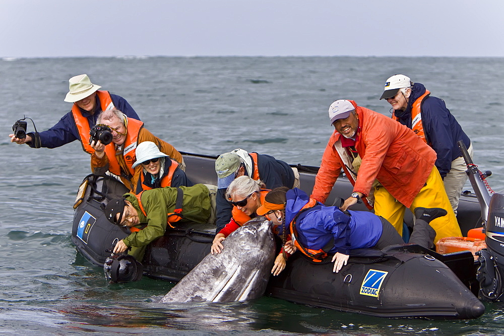 California Gray Whale (Eschrichtius robustus) with excited whale watchers in San Ignacio Lagoon on the Pacific side of the Baja Peninsula, Baja California Sur, Mexico.MORE INFO: Each winter thousands of California gray whales migrate from the Bering and Chuckchi seas to breed and calf in the warm water lagoons of Baja California. San Ignacio lagoon is the smallest of the three major such lagoons. Current (2008) population estimates put the California Gray Whale at between 20,000 and 24,000 animals.