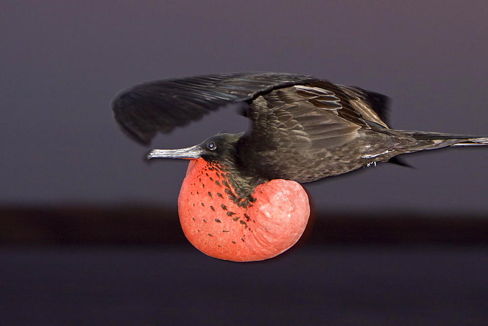 Adult male great frigate bird (Fregata minor) with inflated gular on North Seymour Island in the Galapagos Island Group, Ecuador