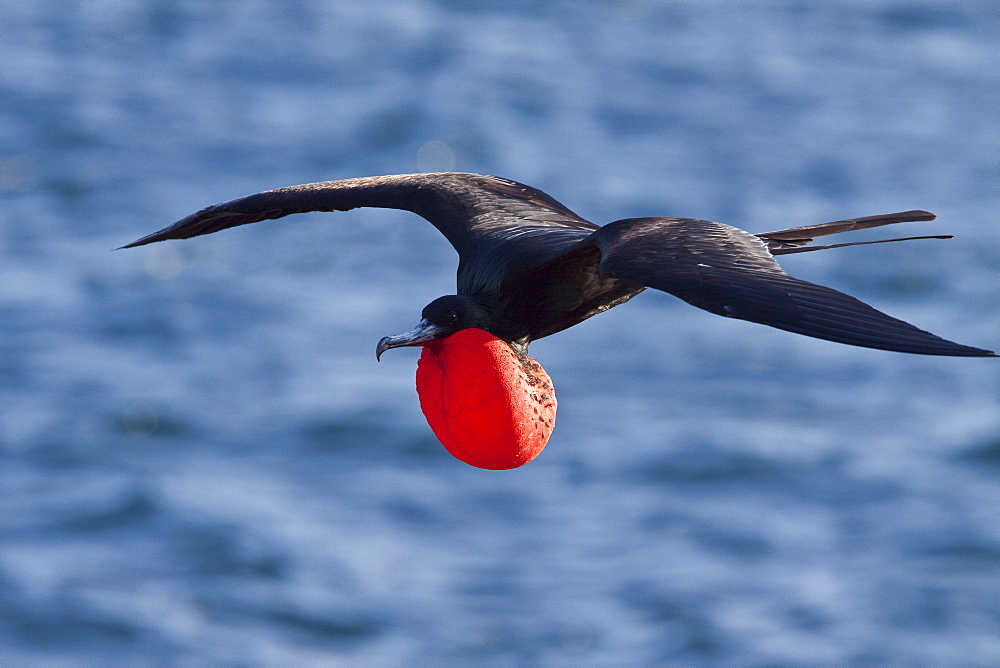 Adult male great frigate bird (Fregata minor) with inflated gular on North Seymour Island in the Galapagos Island Group, Ecuador. Pacific Ocean