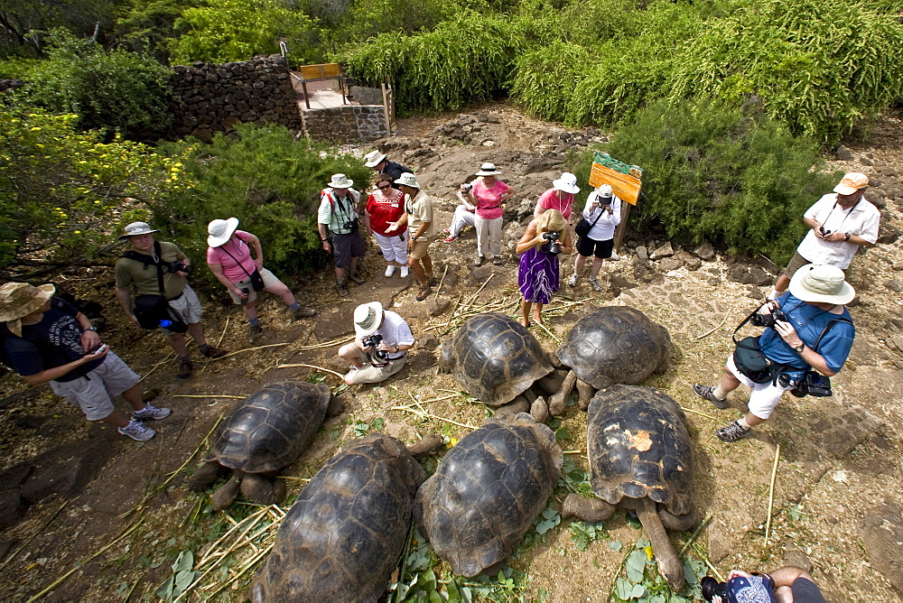 Captive Galapagos giant tortoise (Geochelone elephantopus) being fed at the Charles Darwin Research Station on Santa Cruz Island in the Galapagos Island Archipeligo, Ecuador. The Galapagos Giant Tortoise is endemic only to the Galapagos Islands. There are currently 11 survivng races and 3 extinct races.