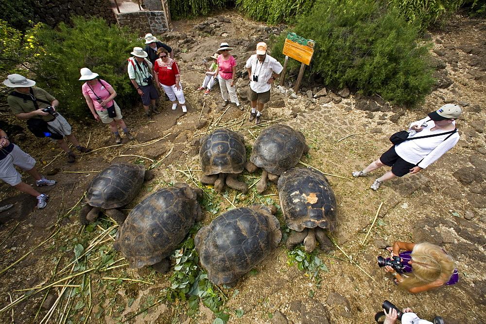 Captive Galapagos giant tortoise (Geochelone elephantopus) being fed at the Charles Darwin Research Station on Santa Cruz Island in the Galapagos Island Archipelago, Ecuador