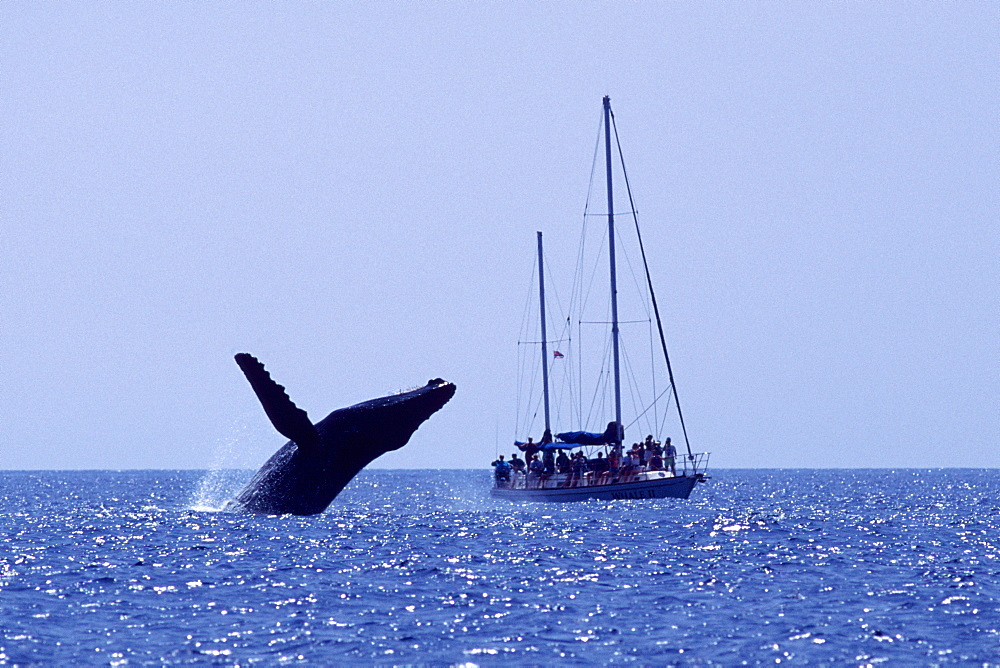 Adult humpback whale breaching near sailboat in the AuAu Channel, Maui, Hawaii, USA.whale watching