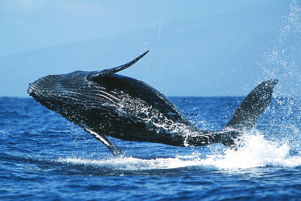 Pacific humpback whale calf, Megaptera novaeangliae, breaching in the Au Au Channel near Maui, Hawaii.