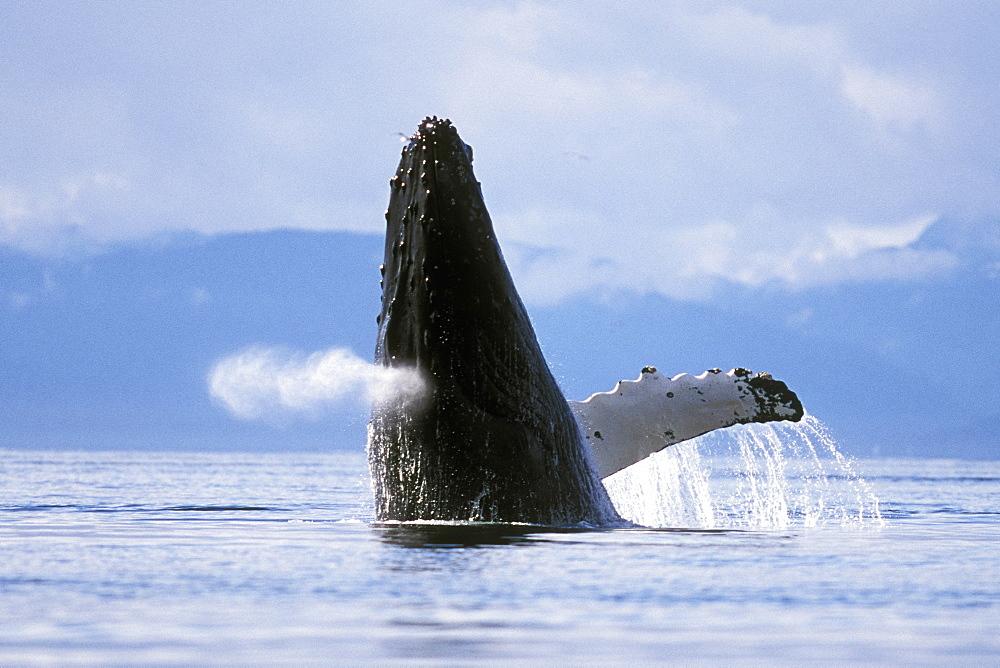 Adult Humpback Whale (Megaptera novaeangliae) breaching in Icy Strait, Southeast Alaska, USA. Pacific Ocean.