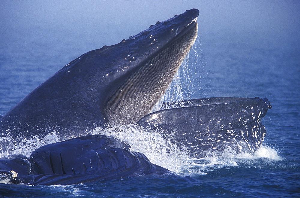 "Humpback Whales (Megaptera novaeangliae) cooperatively ""bubble-net"" feeding in the fog in Chatham Strait, Southeast Alaska, USA."