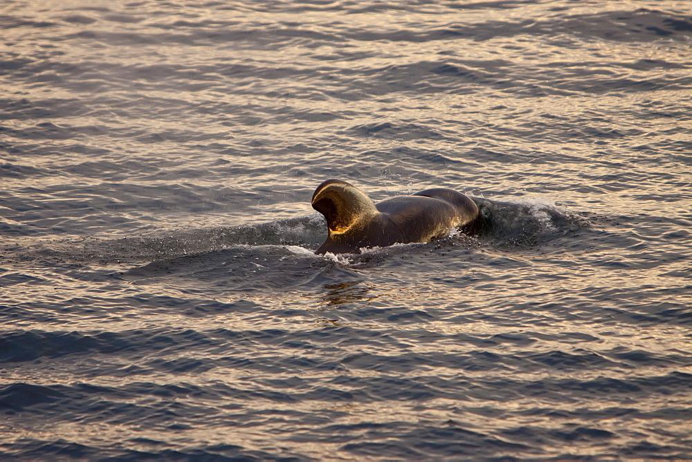 Short-finned pilot whale (Globicephala macrorhynchus) surfacing off Isla San Pedro Martir, Gulf of California (Sea of Cortez), Baja California Norte, Mexico