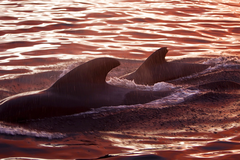 Short-finned pilot whale (Globicephala macrorhynchus) surfacing at sunset off Isla San Pedro Martir, Gulf of California (Sea of Cortez), Baja California Norte, Mexico