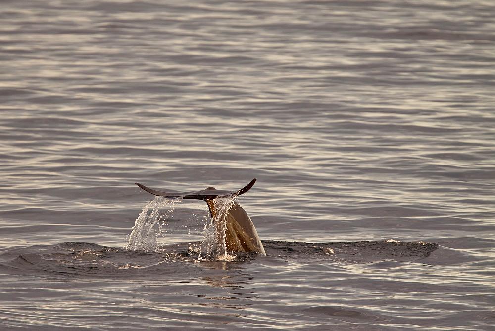 Short-finned pilot whale (Globicephala macrorhynchus) fluke-up dive off Isla San Pedro Martir, Gulf of California (Sea of Cortez), Baja California Norte, Mexico