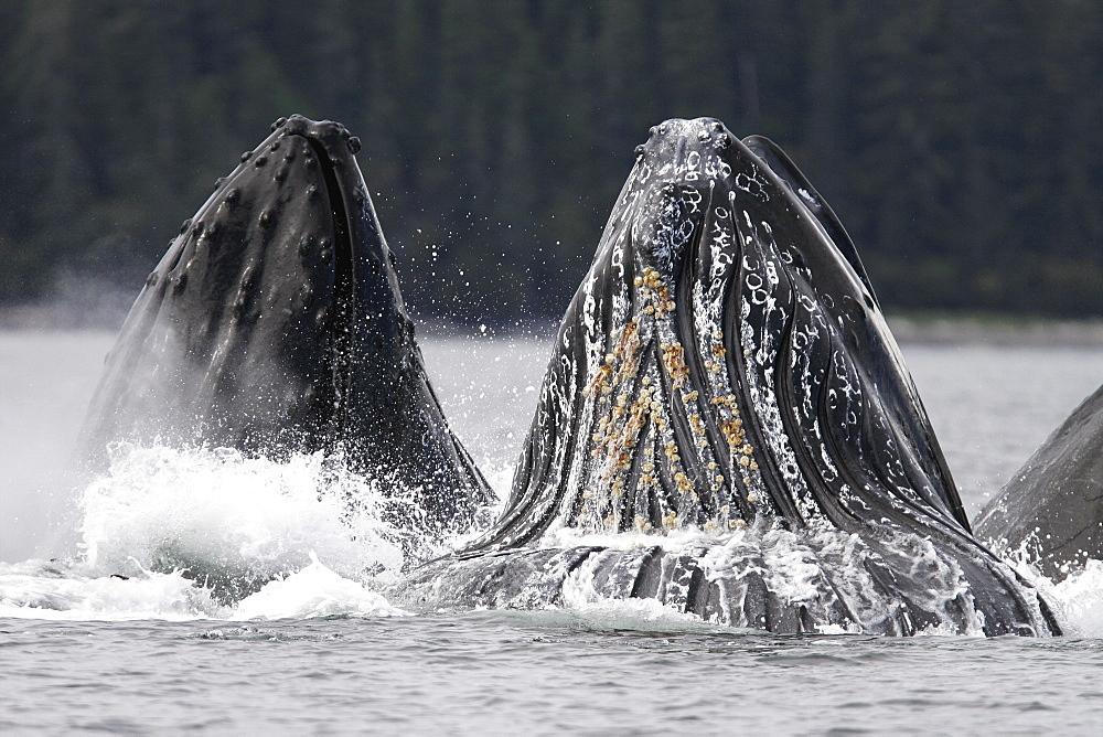 Adult humpback whales (Megaptera novaeangliae) cooperative bubble-net feeding in Iyoukeen Bay, southeast Alaska, USA.