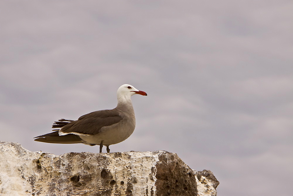 Adult Heermann's gull (Larus heermanni) on their breeding grounds on Isla Rasa in the middle Gulf of California (Sea of Cortez), Mexico. MORE INFO: 95% of the world's population of this species nests on this tiny island, 2008 population estimates are 260,000 nesting pairs here.