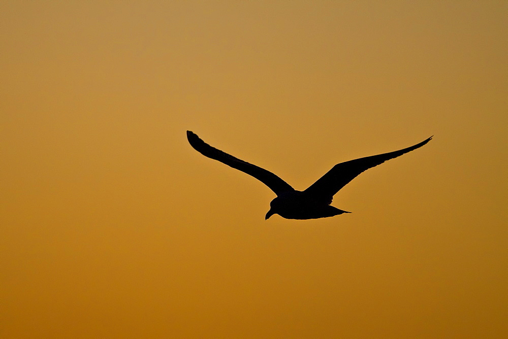 Yellow-footed Gull (Larus livens) in flight at sunset in the Gulf of California (Sea of Cortez), Mexico. MORE INFO: This species is enedemic to only the Gulf of California.