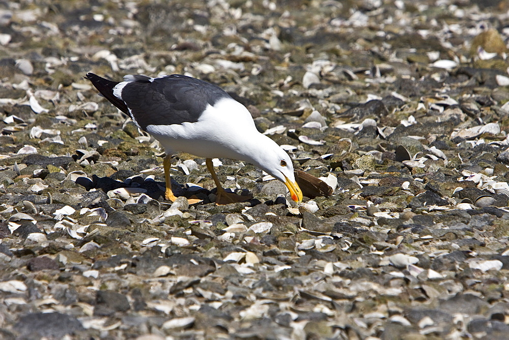Yellow-footed Gull (Larus livens) eating clams at low tide in Puerto Don Juan in the Gulf of California (Sea of Cortez), Mexico. MORE INFO: These gulls have developed the ingenious ability to dig up clams at low tide on the beach, then carry them over rocks where they drop the clam from the air, breaking them open on the rocks below. This species is enedemic to only the Gulf of California.