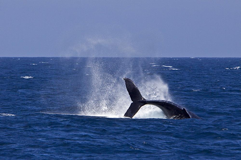 Humpback whale (Megaptera novaeangliae) tail throw in the lower Gulf of California (Sea of Cortez), Baja California Sur, Mexico.