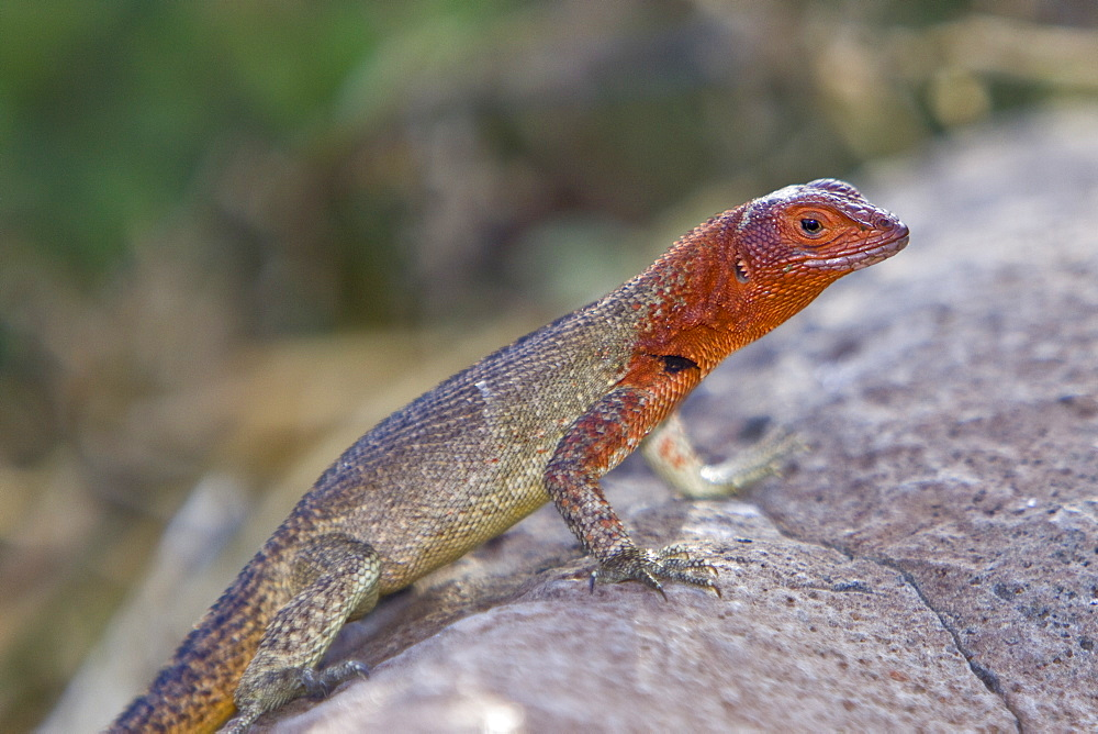Lava lizard (Microlophus spp) in the Galapagos Island Archipeligo, Ecuador. Many of the islands within the Galapagos Island Archipeligo have their own endemic species.