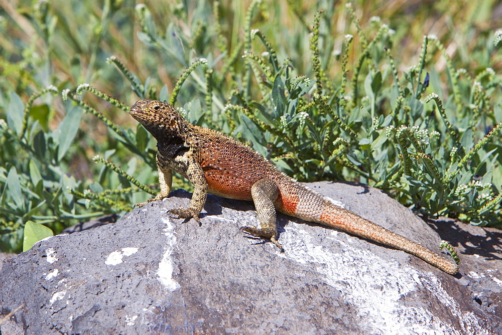 Lava lizard (Microlophus spp) in the Galapagos Island Archipeligo, Ecuador. MORE INFO: Many of the islands within the Galapagos Island Archipeligo have their own endemic species.