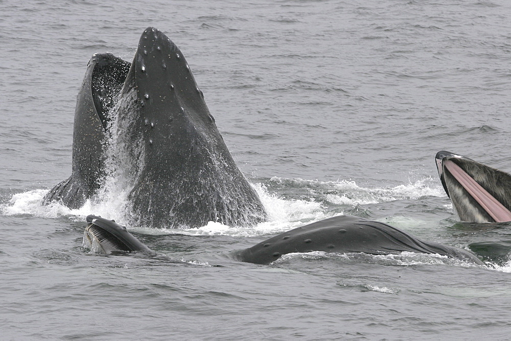 """Adult humpback whales (Megaptera novaeangliae) cooperatively """"bubble-net"""" feeding in Southeast Alaska, USA. Pacific Ocean. Note the expanded ventral pleats as well as the baleen hanging from the upper jaws."""