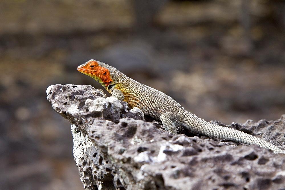 Lava lizard (Microlophus spp) in the Galapagos Island Archipeligo, Ecuador. Many of the islands within the Galapagos Island Archipeligo have their own endemic species.