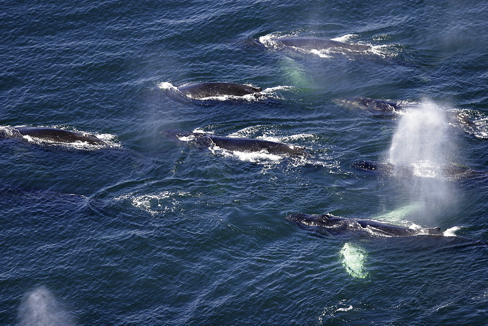 "Aerial view of adult humpback whales (Megaptera novaeangliae) preparing to dive in order to cooperatively ""bubble-net"" feed in Southeast Alaska, USA. Pacific Ocean. Note the expanded ventral pleats as well as the baleen hanging from the upper jaws."