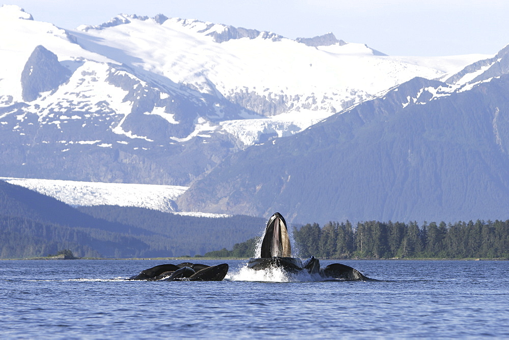 Humpback whales (Megaptera novaeangliae) co-operatively bubble-net feeding in front of Mendenhall Glacier in Stephen's Passage, Southeast Alaska, USA. Pacific Ocean.