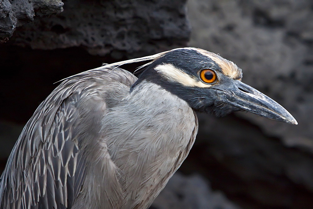 An adult Yellow-crowned night heron (Nycticorax violaceus) on  lava flow in the Galapagos Islands, Ecuador. Pacific Ocean.