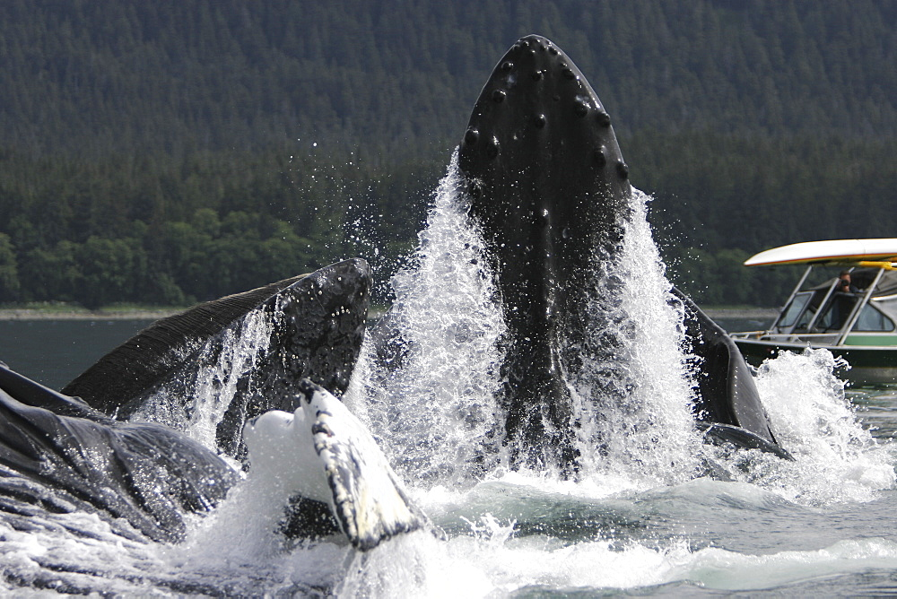 Humpback Whales (Megaptera novaeangliae) co-operatively bubble-net feeding near small whale watching boat in Stephen's Passage, Southeast Alaska, USA. Pacific Ocean.