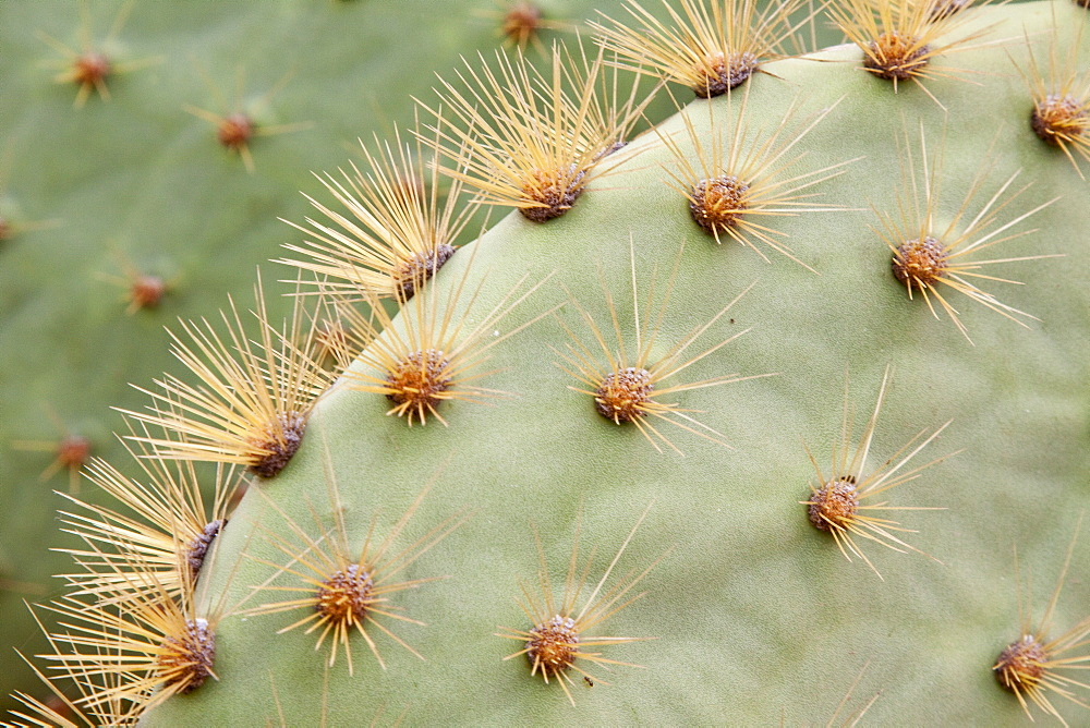 Intruiging and whimsical shapes and patterns in the giant Opuntia cactus (Opuntia echios) of the Galapagos Island Group. MORE INFO: This cacti is endemic to the Galapagos Islands.
