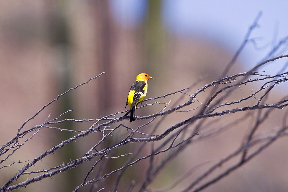 Adult male western tanager (Piranga ludoviciana) in breeding plumage on Isla San Esteban in the middle Gulf of California (Sea of Cortez), Mexico.