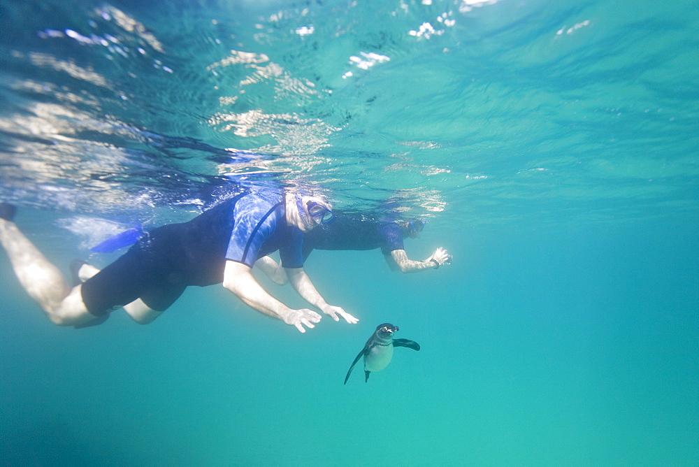 Adult Galapagos penguin (Spheniscus mendiculus) hunting fish underwater in the Galapagos Island Group, Ecuador