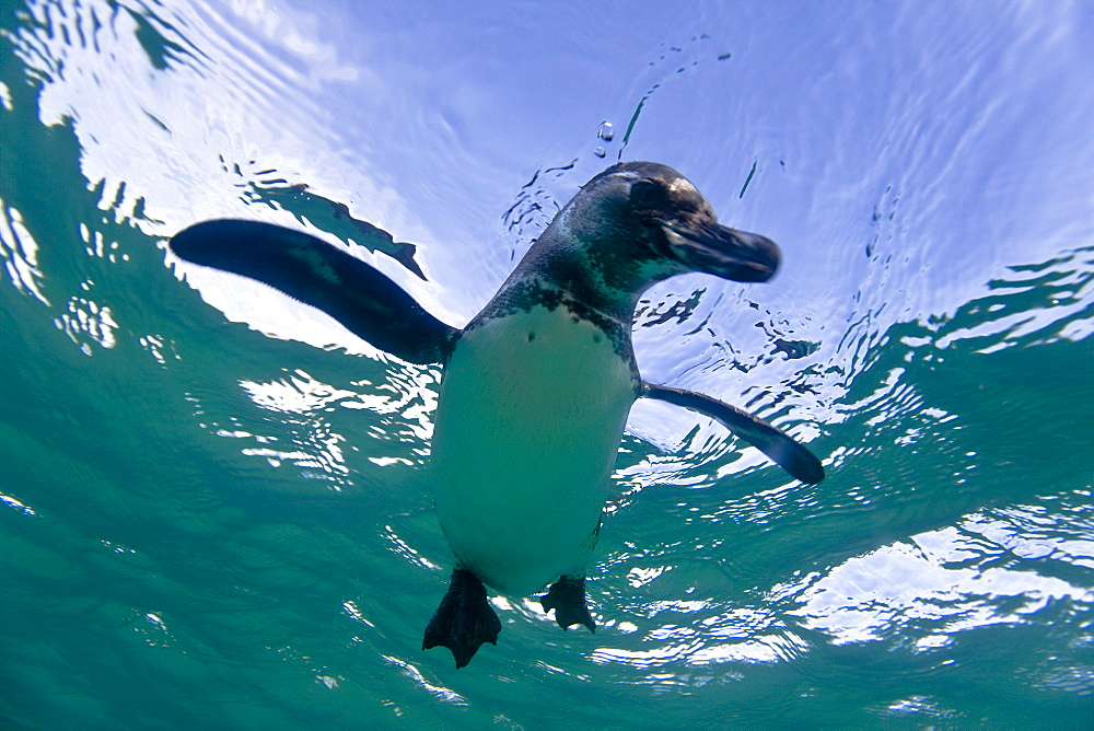 Adult Galapagos penguin (Spheniscus mendiculus) hunting fish underwater in the Galapagos Island Group, Ecuador. This is the only species of penguin in the northern hemisphere and is endemic to the Galapagos Island archipeligo, Ecuador only. - 979-6229