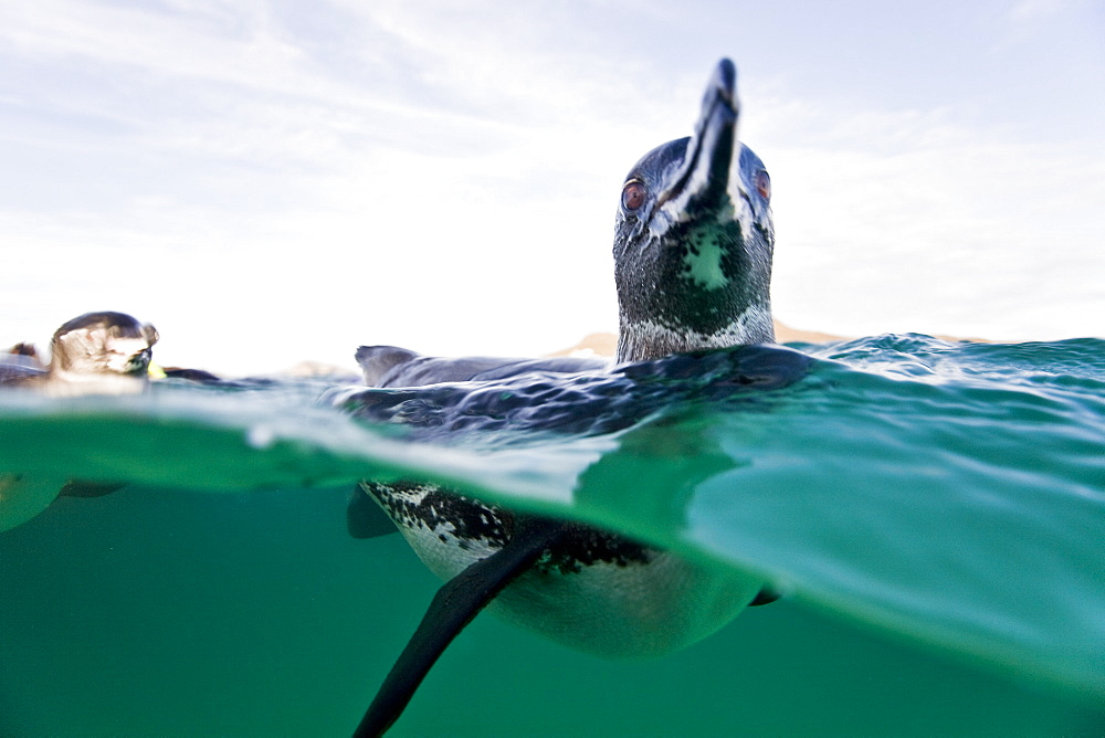 Adult Galapagos penguin (Spheniscus mendiculus) split view underwater in the Galapagos Island Group, Ecuador. This is the only species of penguin in the northern hemisphere and is endemic to the Galapagos Island archipeligo, Ecuador only. - 979-6234