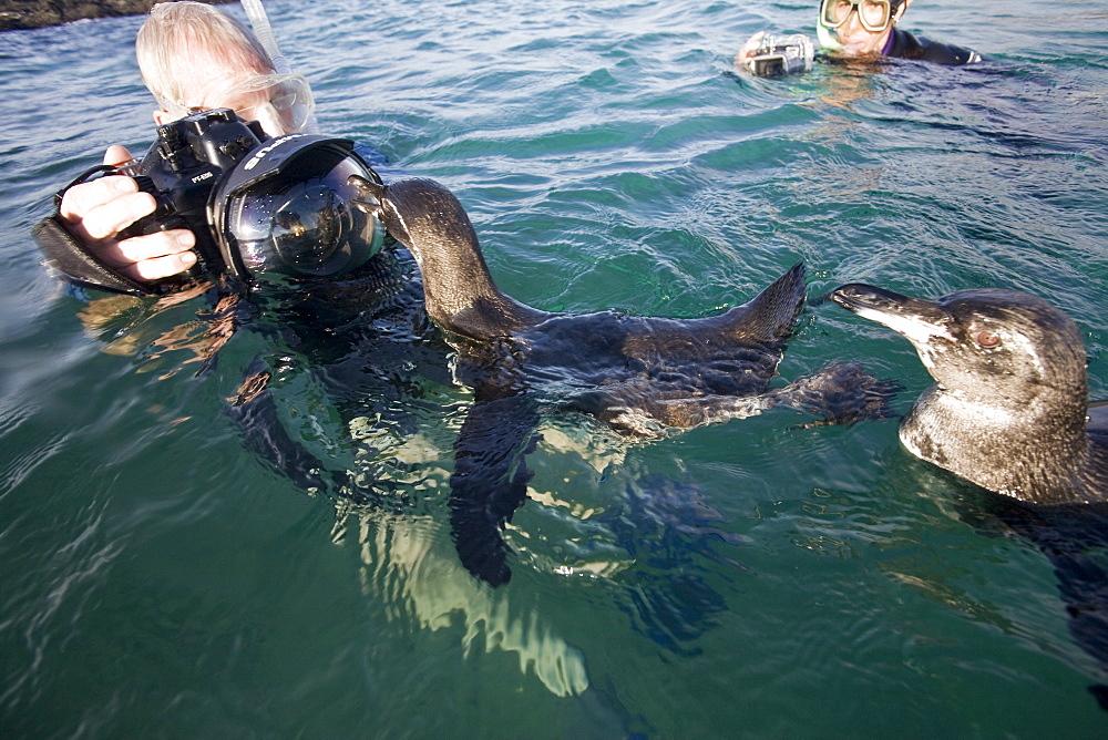 Adult Galapagos penguin (Spheniscus mendiculus) split view underwater in the Galapagos Island Group, Ecuador