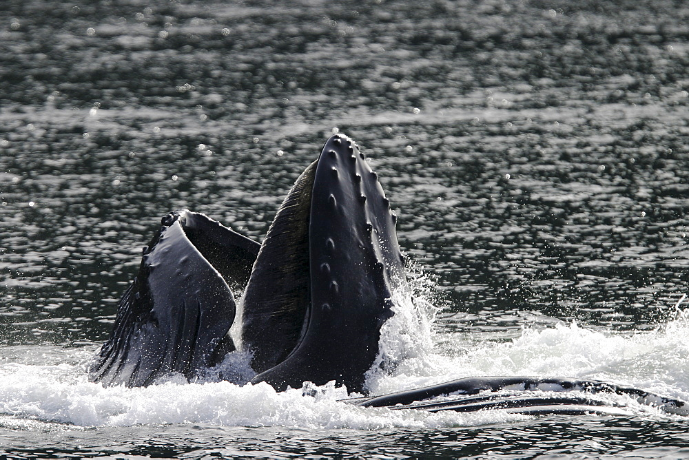 """Adult Humpback Whales (Megaptera novaeangliae) cooperatively """"bubble-net"""" feeding in Stephen's Passage, Southeast Alaska, USA. Pacific Ocean."""