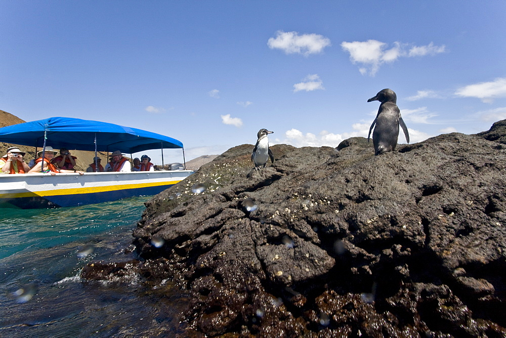 Adult Galapagos penguin (Spheniscus mendiculus) in the Galapagos Island Group, Ecuador. This is the only species of penguin in the northern hemisphere and is endemic to the Galapagos Island archipeligo, Ecuador only.