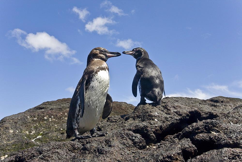 Adult Galapagos penguin (Spheniscus mendiculus) in the Galapagos Island Group, Ecuador