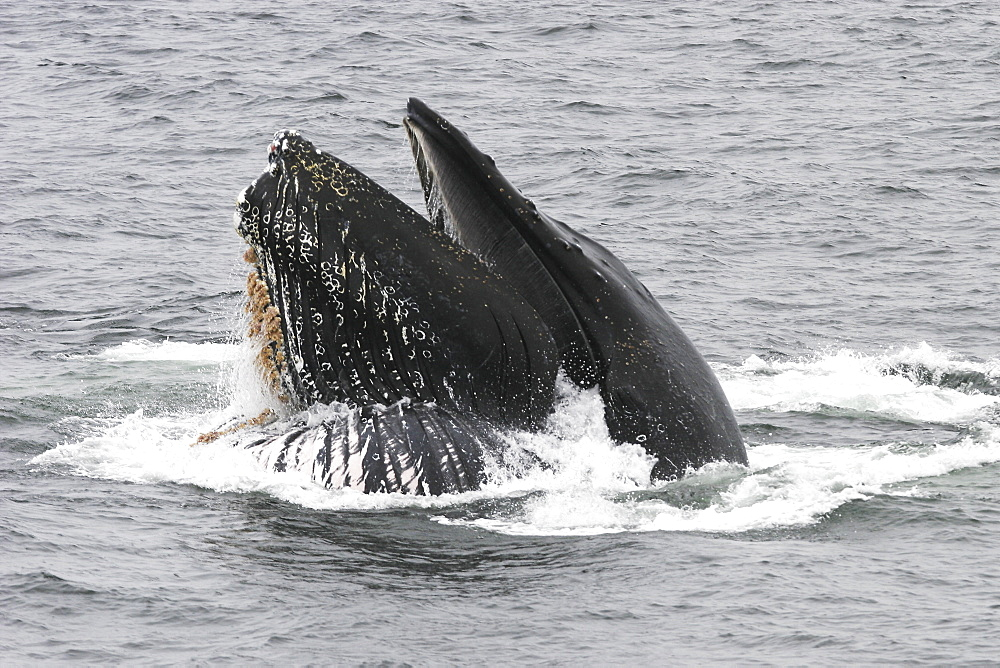 """Adult humpback whale (Megaptera novaeangliae) cooperatively """"bubble-net"""" feeding in Southeast Alaska, USA. Pacific Ocean. Note the expanded ventral pleats as well as the baleen hanging from the upper jaws."""