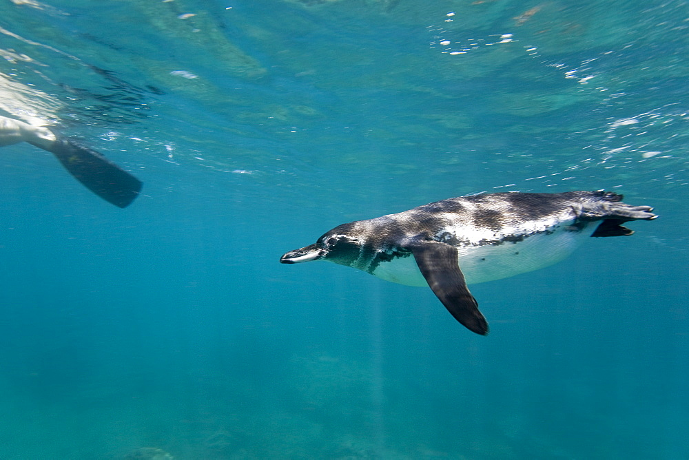 Adult Galapagos penguin (Spheniscus mendiculus) hunting fish underwater in the Galapagos Island Group, Ecuador. This is the only species of penguin in the northern hemisphere and is endemic to the Galapagos Island archipeligo, Ecuador only.